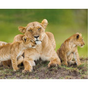 Lioness and Cubs - Mini Poster - 40 x 50cm