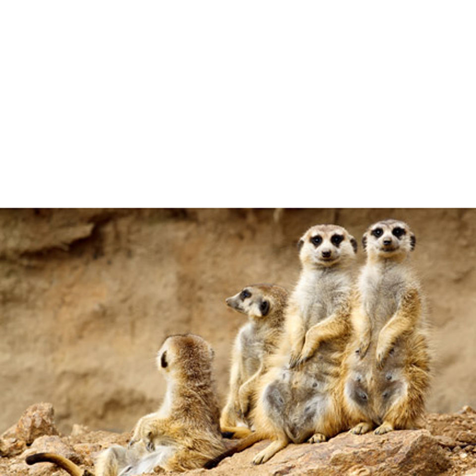 meeting-the-meerkats