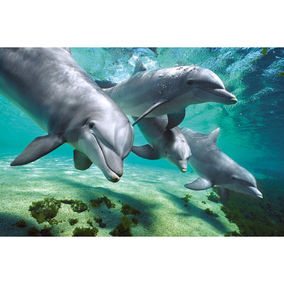 dolphins-underwater-maxi-poster-61-x-915cm