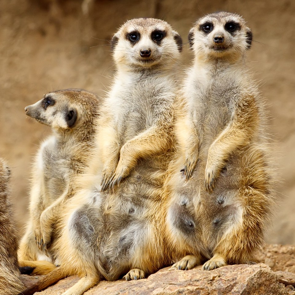meet-the-meerkats-for-two-in-hertfordshire