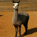 adopt-an-alpaca-with-tickets-to-paradise-wildlife-park