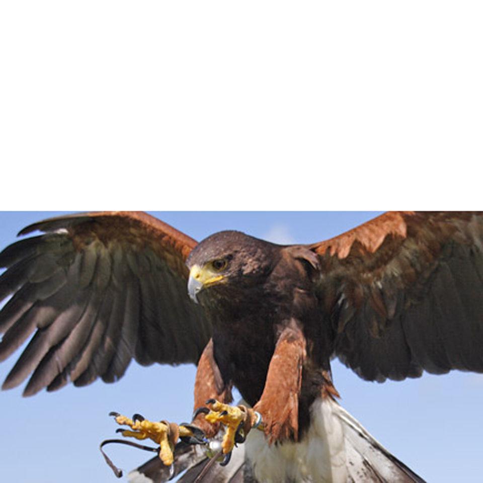 bird-of-prey-falconry-experience