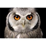 Owl Face - 61 x 91.5cm Maxi Poster