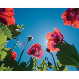 Poppies Sky - Mini Poster - 40 x 50cm