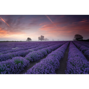 Lavender Field Dawn - 61 x 91.5cm Maxi Poster