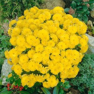 Large Chrysanthemum Ball