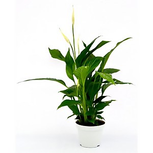 Spathiphyllum (Peace Lily) Houseplant - 13cm