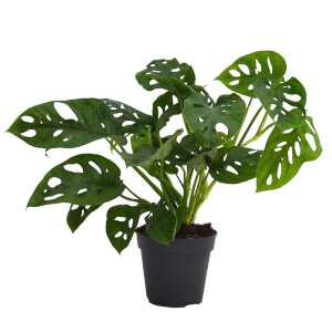 Monstera Obliqua Monkey Leaf - 12cm