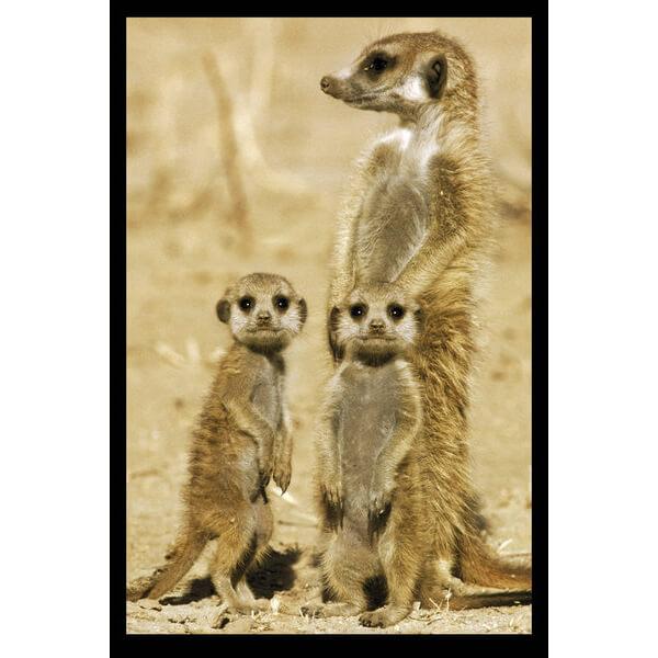 meerkats-maxi-poster-61-x-915cm