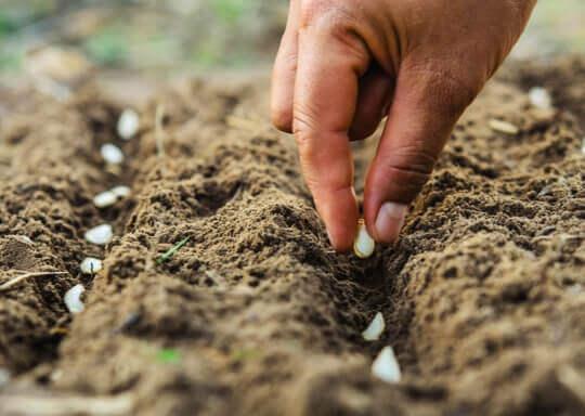 main qui pose des graines dans la terre