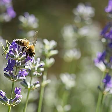 Über Lavendel