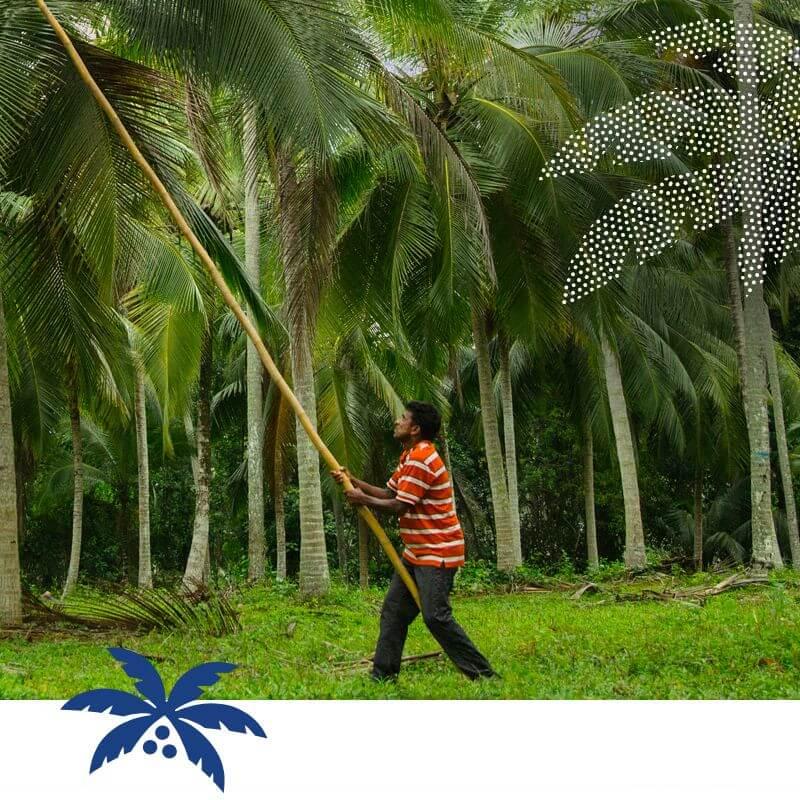 Le travailleur prend les cocos du palmier